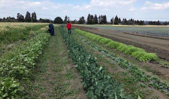 のむじぃさんの無農薬野菜を収穫に行きました^^